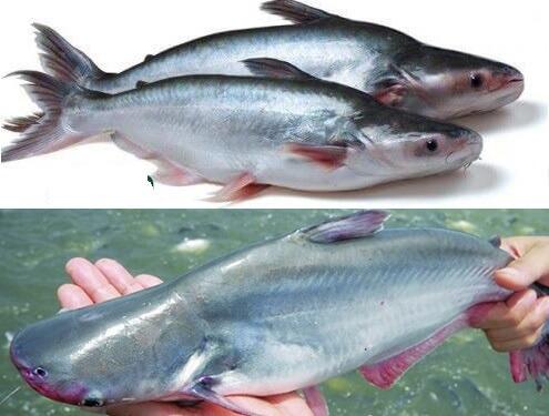 Cá basa và cá tra