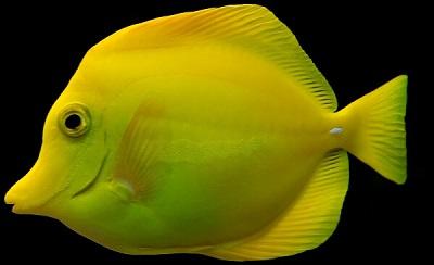 Cá đuối gai vàng