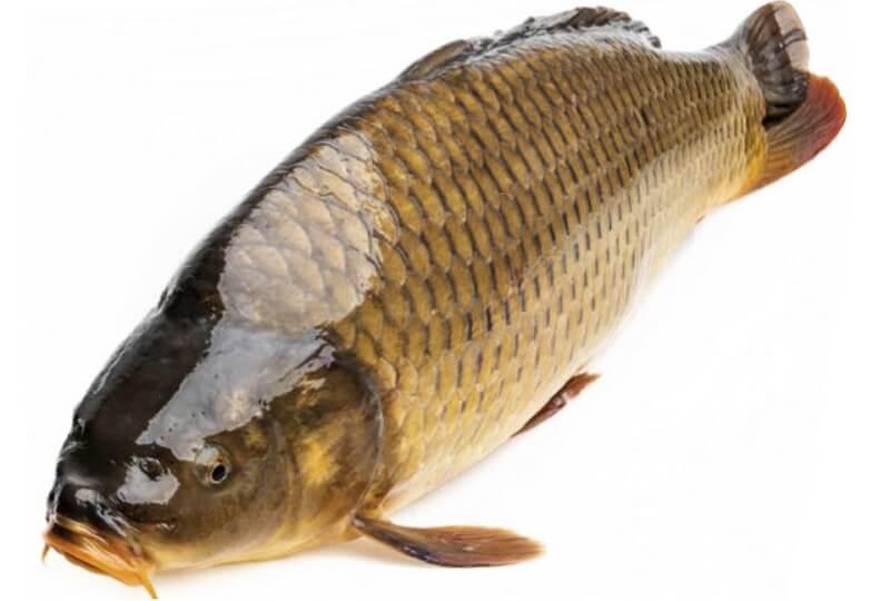đặc điểm cá chép
